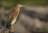 Green Heron, Frink Centre, July 15 2013, #3639, Canon T3i-1/1000-F8.0-ISO 200, LR5
