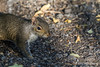 Red Squirrel, May 21 2012, Frink Centre