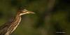 Green Heron, Frink Centre, July 15 2013, #3578, Canon T3i-1/1250-F7.1-ISO 200, LR5