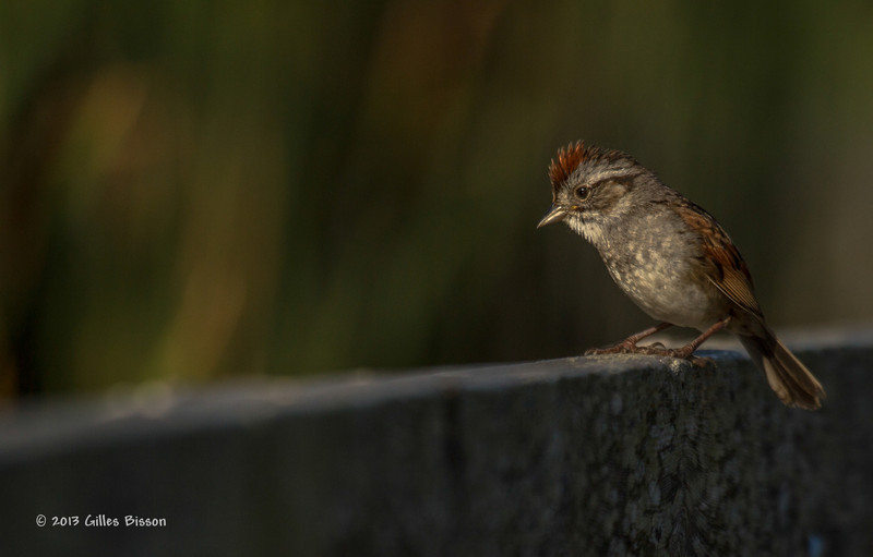 Swamp Sparrow, Frink Centre, July 15 2013, #3363, Canon T3i-1/2000-f5.6-ISO 200-LR5