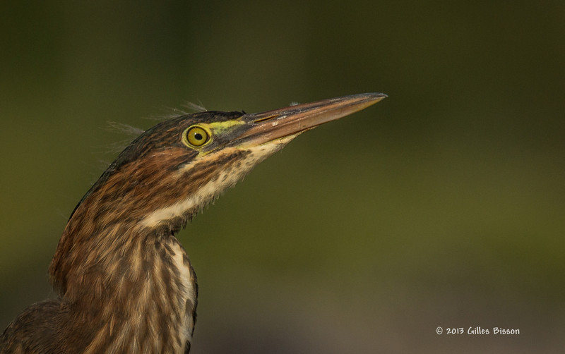 Green Heron, Frink Centre, July 15 2013, #3630, Canon T3i-1/1000-F8.0-ISO 200, LR5