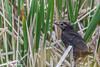 Common Grackle Chick, May 22 2012, Frink Centre