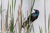 Common Grackle, May 22 2012, Frink Centre
