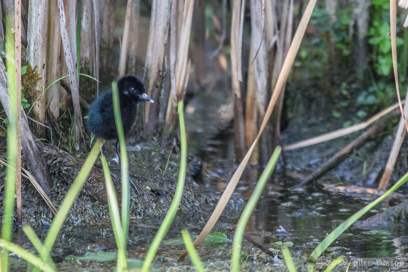 Virginia Rail chick, July 31 2012, Frink Centre