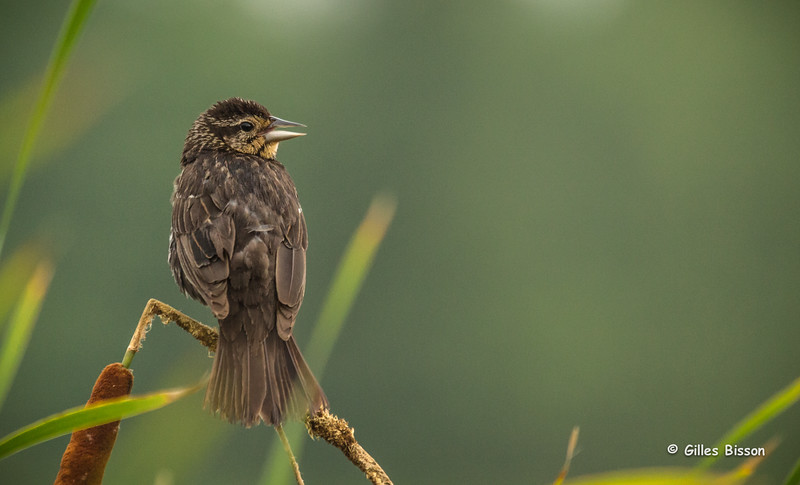 Female Red-Winged Blackbird, July 23 2014, Frink Centre