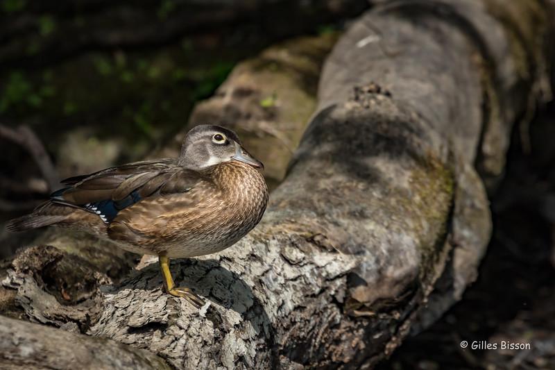 Wood duck Hen, Moira river, July 11 2016, Canon 7D Mark II, 1/1250, F8.0, ISO 400