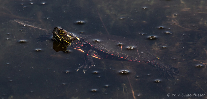 Painted Turtle,March 22 2012, Frink Centre