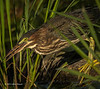 Green Heron eating a bug,  Frink Centre, July 15 2013, #3688, Canon T3i-1/1250-F7.1-ISO 200, LR5