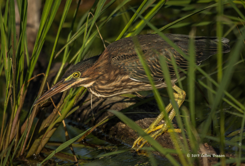 Green Heron eating a bug,  Frink Centre, July 15 2013, #3680, Canon T3i-1/1250-F7.1-ISO 200, LR5