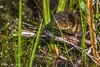 Northern Water Snake, May 15 2012, Frink Centre
