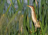 Stretched Least Bittern