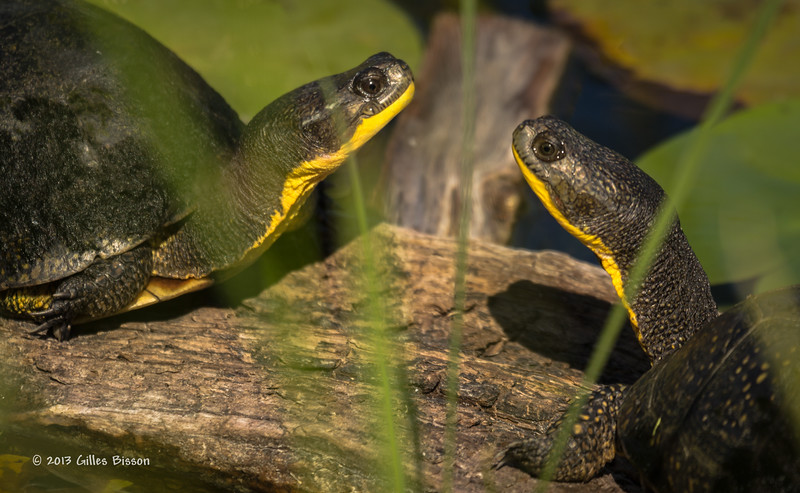 Blandings turtles, Aug 15 2013, Frink Centre, #4963, Canon T3i-1/500-F7.1-ISO100-LR5