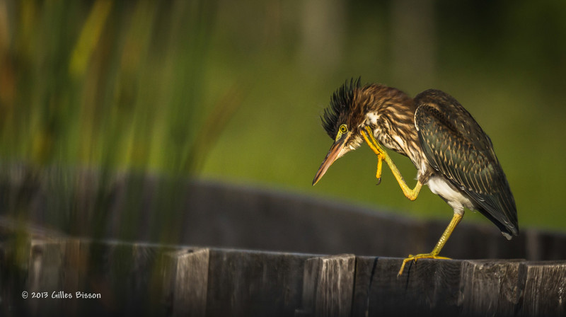 Green Heron,  Frink Centre, July 15 2013, #3398, Canon T3i-100-400mm-1/1250-F7.1-ISO 200, LR5