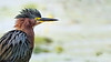 Green Heron, July 06, 2021, Frink Centre, Sony A7RIV, 1.4X, 1/640, F8.0, ISO 400
