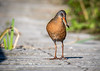 Virginia Rail, Frink Centre, Belleville, June 15, 2018, Canon 7D Mark II, 100-400mm, 1/1250, F7.1, ISO 250
