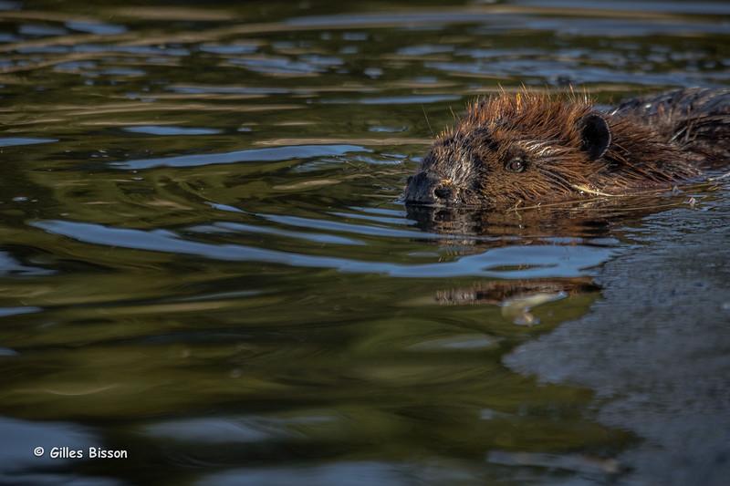 Beaver, December 19 2014, Frink Centre, Canon 6D, 100-400mm,1/500,F7.1,ISO250