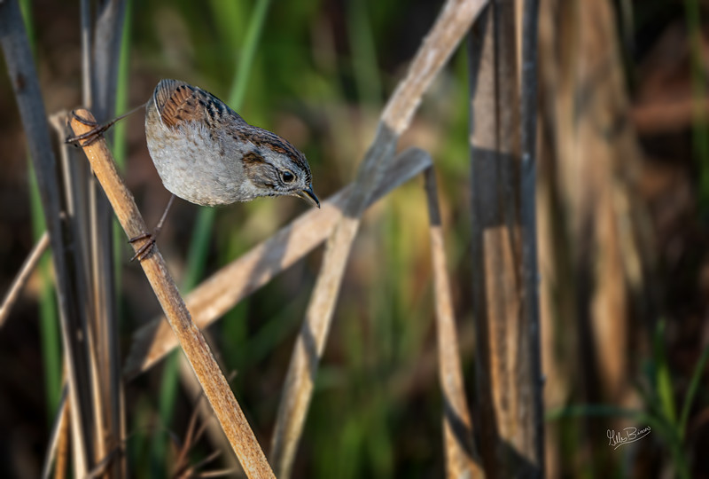 Swamp Sparrow, Frink Centre, May 26, 2020, Sony 7RIV, 200-600mm, 1/2000, F7.1, ISO 500