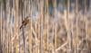 Swamp Saprrow, May 08 2014, Frink Centre, #6551, Canon T3i,100-400mm, 1/1250 ,f7.1 ,ISO400, Frink Centre, #6551, Canon 6D,100-400mm, 1/1250 ,f8 ,ISO200