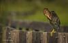 Green Heron, Frink Centre, July 15 2013, #3538, Canon T3i-1/1250-F7.1-ISO 200, LR5