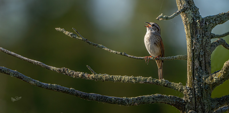 Swamp Sparrow, Frink Centre, May 26, 2020, Sony 7RIV, 200-600mm, 1/1250, F7.1, ISO 160