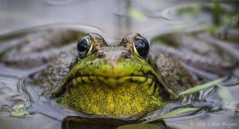 Green Frog, June 8 2012, Frink Centre