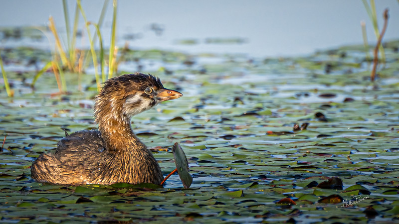Juvenile Pied-billed Grebe, July 21, 2021, Frink Centre, Sony A7RIV, 100-400mm, 1.4X, 1/1250, F8.0, ISO 640