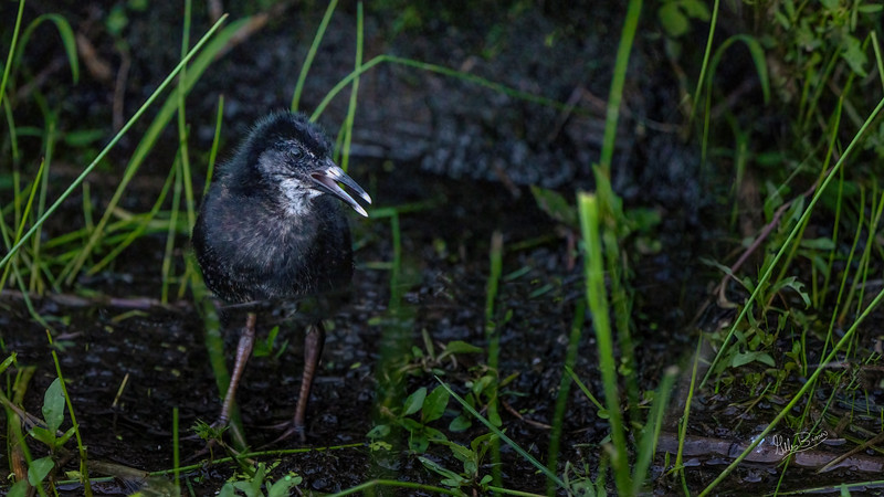 Virginia Rail Chick, June 16, 2021, Frink Centre, Sony A7RIV, 100-400mm, 1.4X, 1/1000, F8.0, ISO 3200