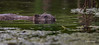 Muskrat, Moira river, July 11, 2016, Canon 7D Mark II, 1/1250, F7.1, ISO 1000