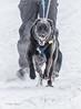 Skijoring at Marmora Sled Dog Races, January 31,2015, Marmora, Canon 7D mark2, 100-400 mm, 1/1250,F8.0,ISO250