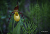 Yellow Lady slipper Orchid, May 27 2014, Canon 6D 1/100,F7.1,ISO400