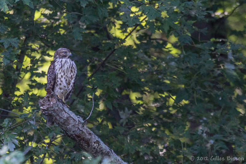 Broad-winged hawk, Sept 17 2012, Moira River