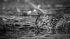 Muskrat, in Black and White, Moira River, September 13, 2018, Canon 7D Mark II, 100-400mm, 1/800, F8.0, ISO 400