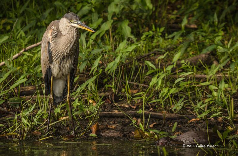 Blue Heron, Moira River, Sept 09 2013, #6555, Canon T3i-400mm-1/1250-F5.6-ISO800-LR5