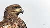 Immature Bald Eagle, July 04, 2021, Moira River, Sony A7RIV, 100-400mm, 1.4X, 1/1600, F8.0. ISO 500
