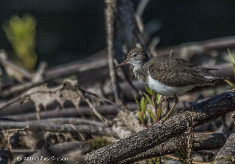Spotted Sandpiper, Aug 12 2011, Moira River
