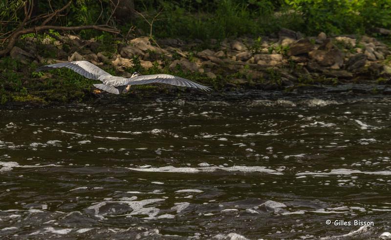 Blue Heron, Moira River, June 20 2014, Canon T3i,1/1000,F7.1,ISO200