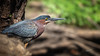 Green Heron, May 27, 2021, Moira river, Sony A7RIV, 100-400mm, 1.4X, 1/640, F8.0, ISO 320
