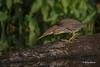 Green Heron, August 16 2015, Moira River, Canon 7D Mark II, 100-400mm, 1/1250, F7.1, ISO 400