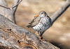 Spotted Sandpiper, May 19,2021, Moira River, Sony A7RIV, 100-400mm, 1.4X, 1/800, F9, ISO 320