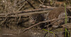 Otter, Moira river, Sept 9 2013, #6731,Canon T3i-100-400mm-1/1000-F5.6-ISO400-LR5
