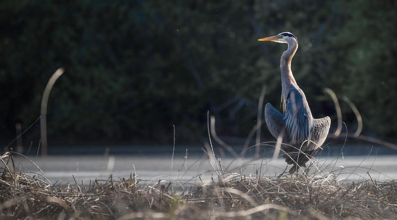 Blue Heron, May 19,2021, Moira River, Sony A7RIV, 100-400mm, 1.4X, 1/640, F10,ISO 250