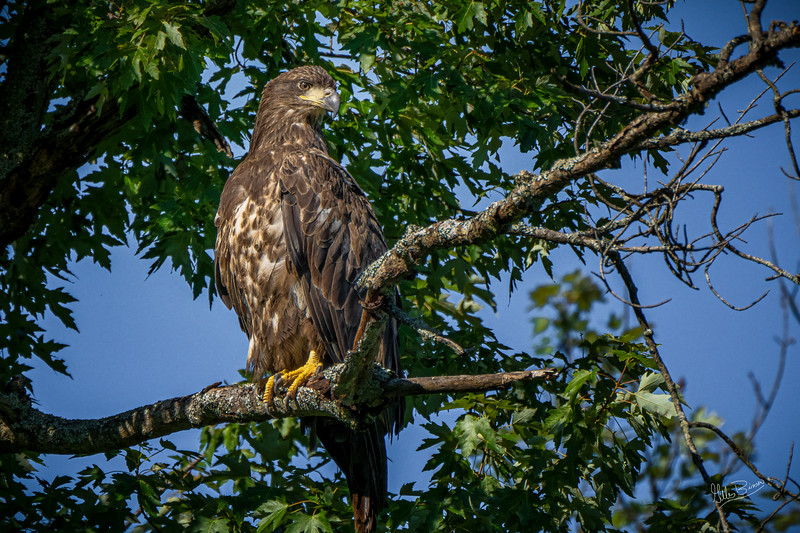 Immature Bald Eagle, July 04, 2021, Moira River, Sony A7RIV, 100-400mm, 1.4X, 1/2000, F8.0. ISO 640