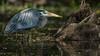 Blue Heron, May 19,2021, Moira River, Sony A7RIV, 100-400mm, 1.4X, 1/800, F8, ISO 320