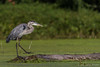 Great Blue Heron, Sept 09 2011, Moira River