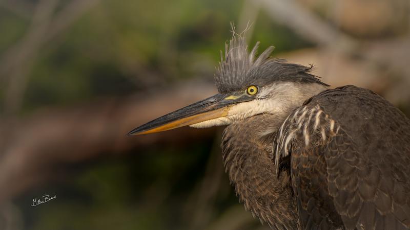 Blue Heron, Moira River, September 23, 2020, Sony AR7IV, 100-400mm, 1/500, F8.0, ISO 64