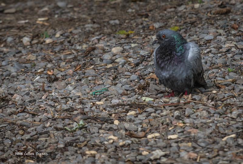 Pigeon, Sept 11 2013, Moira River, #7131-Canon 6D-100-400mm-1/1000-F8.0-ISO800-LR5