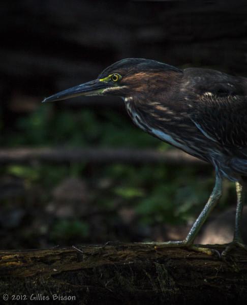 Green Heron, September 17 2012, Moira River