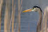 Great Blue Heron, April 30 2012, Moira River