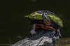 Painted Turtle, Aug 01 2011, Moira River