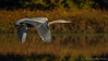 Great Blue Heron in flight on  Moira River, October 10 2011